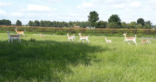 foto-3-bokjes-en-volwassen-herten-en-bok-in-hertenkamp